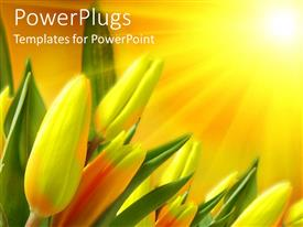 PowerPoint template displaying green and yellow tulips receives sun rays from sunshine