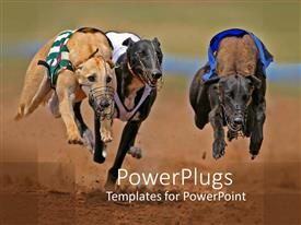 PowerPlugs: PowerPoint template with a group of greyhounds running behind a prey