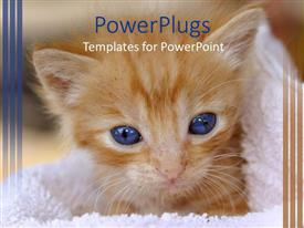 PowerPoint template displaying hairy brown colored cat with blue eyes in a towel