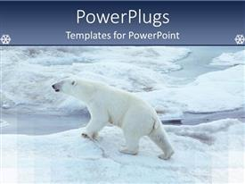 PowerPlugs: PowerPoint template with a healthy polar bear walking on ice in Antarctica