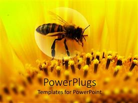 PowerPlugs: PowerPoint template with honeybee sitting on a sunflower zoomed in