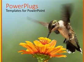 PowerPlugs: PowerPoint template with hummingbird performing flight movements collecting nectar from yellow flower