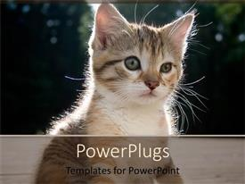 PowerPlugs: PowerPoint template with kitten watching at something in front of it, focused little cat on blurred background