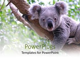 PowerPlugs: PowerPoint template with koala bear laying on tree branch