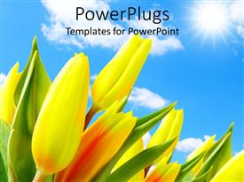 PowerPoint template displaying large beautiful tulips in garden against blue cloudy sky