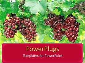 PowerPoint template displaying large bunches of purple grapes on vine with bright green leaves