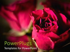 PowerPoint template displaying large pink colored rose with a blurry rose background