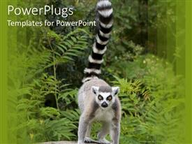 PowerPlugs: PowerPoint template with a large ring tailed lemur standing in its natural habitat