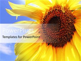 PowerPoint template displaying large sun flower with a clear blue sky background
