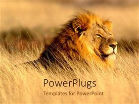 PowerPoint template displaying lion in desert top of the food chain power animals
