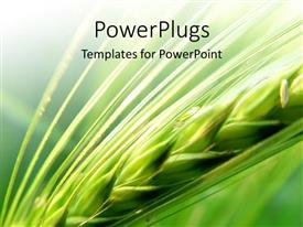PowerPlugs: PowerPoint template with a long green strand of barley on an open field