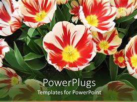 PowerPlugs: PowerPoint template with lots of beautiful red, yellow and white colored flowers