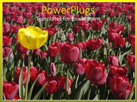 PowerPoint template displaying lots of deep pink flowers on a field with an outstanding yellow one