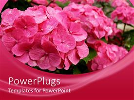 PowerPlugs: PowerPoint template with lots of pink flower bunches on a pink background
