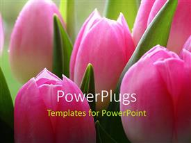 PowerPlugs: PowerPoint template with lots of pink tulips a close-up