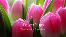 Audience pleasing PPT theme featuring lots of pink tulips a close-up