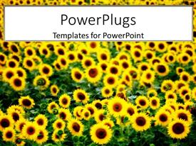 PowerPoint template displaying lots of sun flowers on an open grassy field