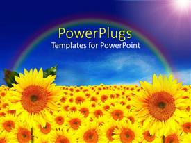 PowerPlugs: PowerPoint template with lots of sun flowers over a field with rainbow