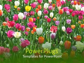PowerPlugs: PowerPoint template with lots of white, pink, orange and yellow tulips with grass