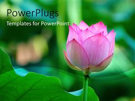 PowerPlugs: PowerPoint template with lotus flower beside a green leaf with green blur