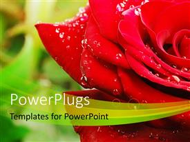 PowerPlugs: PowerPoint template with a close up view of a lovely red rose with water droplets on it