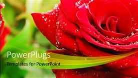 PowerPoint template displaying a close up view of a lovely red rose with water droplets on it