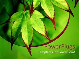 PowerPoint template displaying maple leaves with green and red pigments on a green background