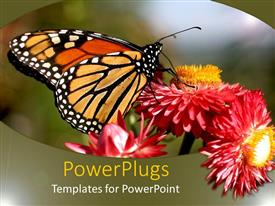 PowerPlugs: PowerPoint template with monarch butterfly on red and orange flowers, nature