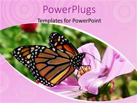 PowerPlugs: PowerPoint template with monarch butterfly sucking nectar from beautiful flower in garden