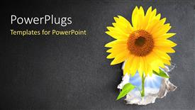 PowerPoint template displaying a sunflower with a greyish background