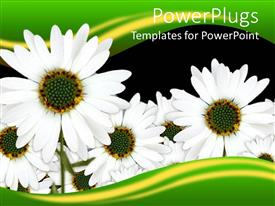 PowerPoint template displaying a number of daisies with black background