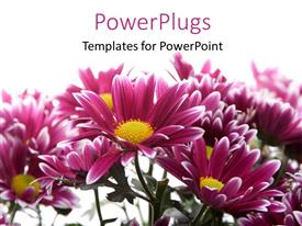 PowerPlugs: PowerPoint template with a number of flowers with white background and place for text