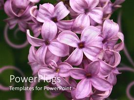 PowerPlugs: PowerPoint template with a number of lilacs with blackish background