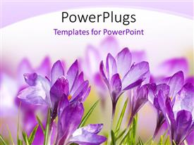 PowerPlugs: PowerPoint template with a number of purple flowers with white background