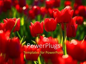 PowerPlugs: PowerPoint template with a number of red flowers with blurr background