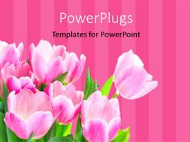 PowerPlugs: PowerPoint template with a number of roses with pinkish lines in the background