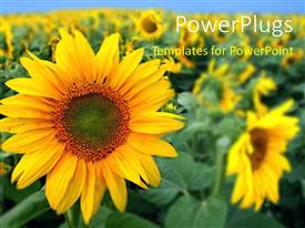 PowerPlugs: PowerPoint template with a number of sunflowers with a crop in the background
