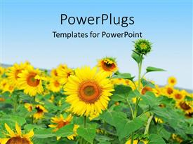 PowerPlugs: PowerPoint template with a number of sunflowers with  sky in the background