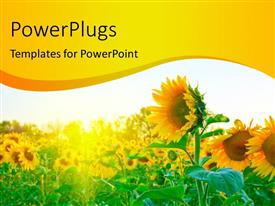 PowerPlugs: PowerPoint template with a number of sunflowers with a white background