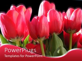 PowerPlugs: PowerPoint template with a number of tulips with blackish background