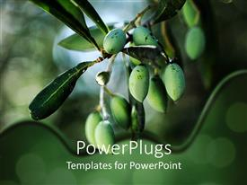 PowerPlugs: PowerPoint template with olive branch with green unripe olives in blurred background