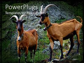PowerPoint template displaying a pair of alp goats standing on the rocks