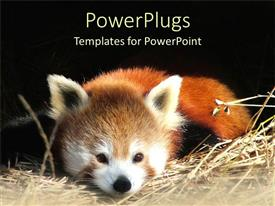 PowerPlugs: PowerPoint template with a panda resting with black background
