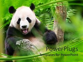 PowerPoint template displaying panda is smiling in a zoo, surrounded by greenery