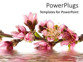 PowerPoint template displaying the peach flowers on top of flowing  water with white background