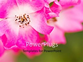 PowerPlugs: PowerPoint template with pink flower of chrysanthemum with green garden