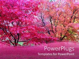PowerPlugs: PowerPoint template with pink Japanese maple trees in fall autumn season with pink wave border