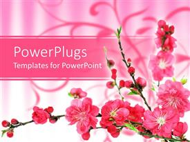 PowerPoint template displaying pink spring cherry tree blossoms on gradient pink to white background