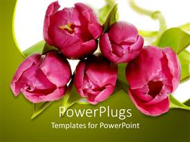 PowerPoint template displaying pink tulips on white background with green plants