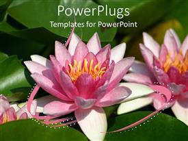 PowerPlugs: PowerPoint template with pink water lily flowers close up with green leaves